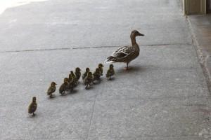 20120516_ducklings_3694